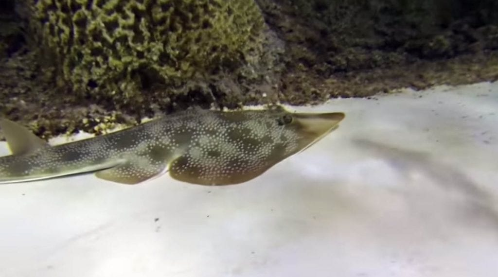 Meet our newest resident, the Guitarfish at Florida Keys Aquarium Encounters.